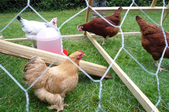 Are backyard chickens for you?