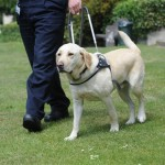 Seeing eye guide dogs