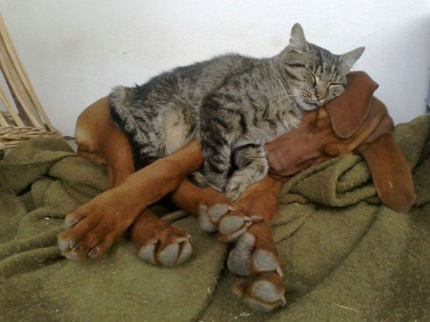 Cats asleep on dogs