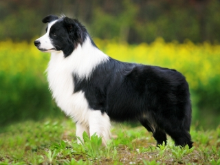 border-collie320